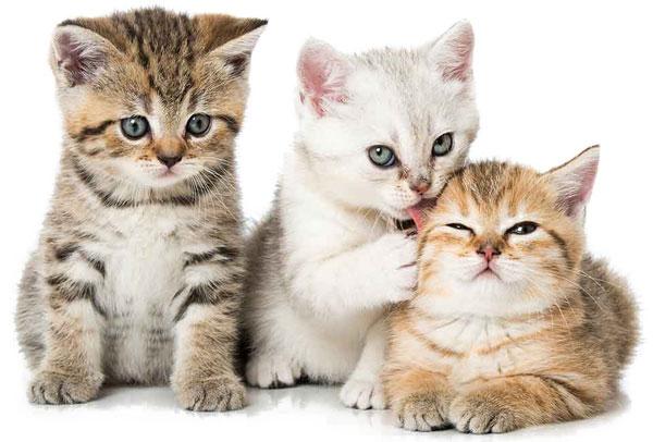Cattery Website Design Kittens