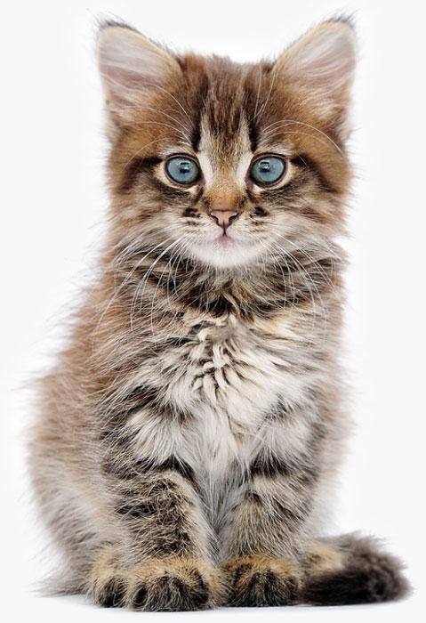 Cattery Website Design Blue Eyed Kitten